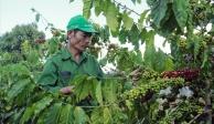 Lâm Đồng thiếu hơn 50% nhân công thu hoạch cà phê