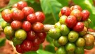 Số liệu thống kê xuất khẩu cà phê