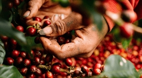 Giá nguyên liệu hôm nay 2/10: Hồ tiêu tăng trở lại, cà phê tiếp tục giảm