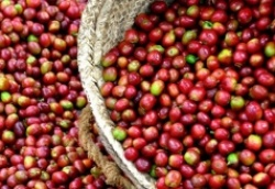 Giá cà phê arabica năm 2019 dự kiến tăng khi sản lượng tại Brazil thấp