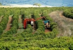 Xuất khẩu cà phê của Brazil tăng cao kỷ lục trong 10 tháng