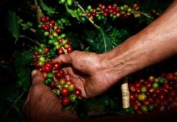 Báo cáo thị trường cà phê tháng 8: Giá cà phê tăng mạnh cả trong nước và thế giới