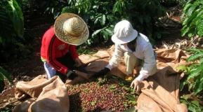 Giá cà phê ngày 12/11/2020 tiếp tục tăng thêm 500.000 đồng / tấn